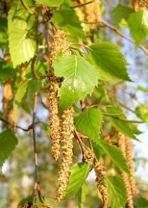 Пыльца и поллиноз